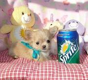 precious blue cream micro tea cup chihuahua puppy